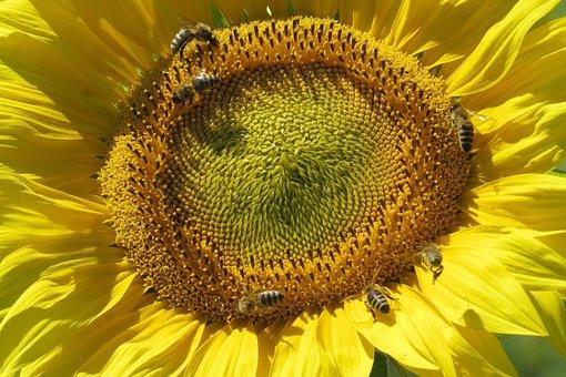 Sun Flower, Blossom, Bloom, Close Up, Flower, Yellow