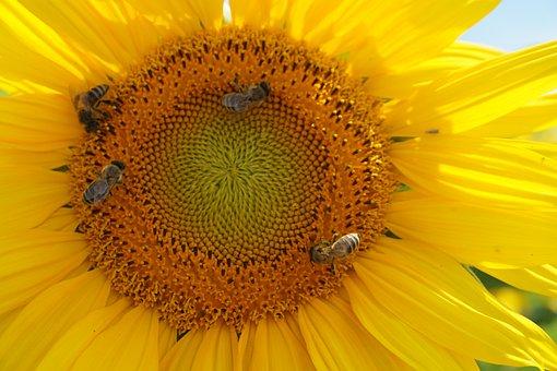 Sun Flower, Yellow, Flower, Nature, Bee, Close Up
