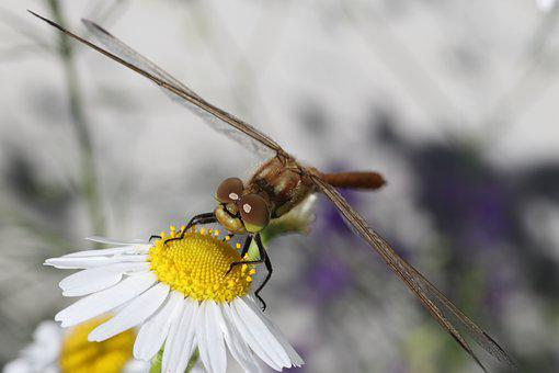 Dragonfly, Daisy, Flower, Violet, Macro, Beautiful