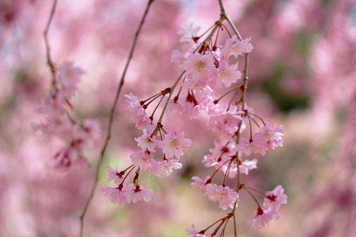 Shidarecherry, Droopingcherrytree, Weeping Cherry Tree