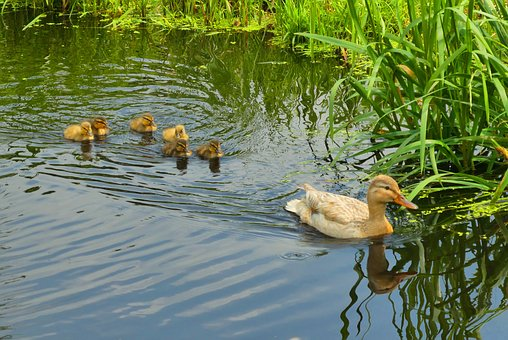 Young Ducks, Spring, Ditch, Nature, Waterfowl, Young