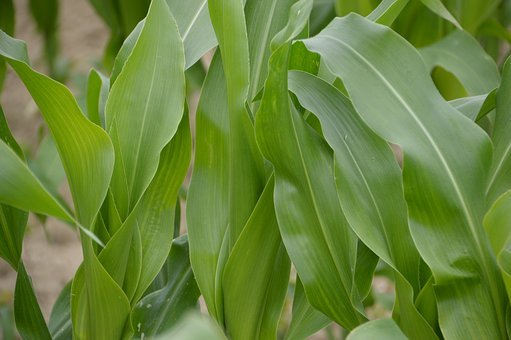 Corn, Corn Field, Culture, Agriculture, Plant, Food