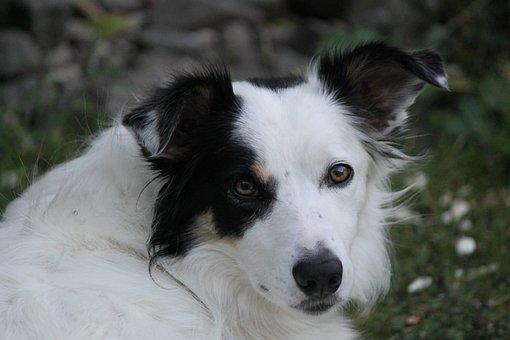 Border Collie, Dog, Pet, Animal, Sheepdog