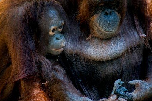 Bornean, Orangutan, Monkey, Animal, Mammal, Wildlife