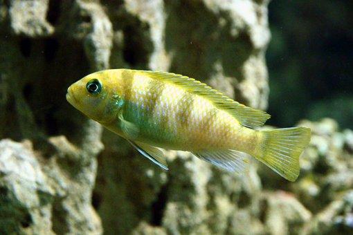Cichlid, Fish, Aquarium, Underwater, Animal