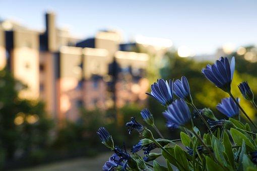 Daisies, Bornholm Marguerite, Flowers, Balcony Plants