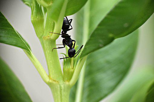 Black Ant, Garden Ant, Insect, Lasius Niger