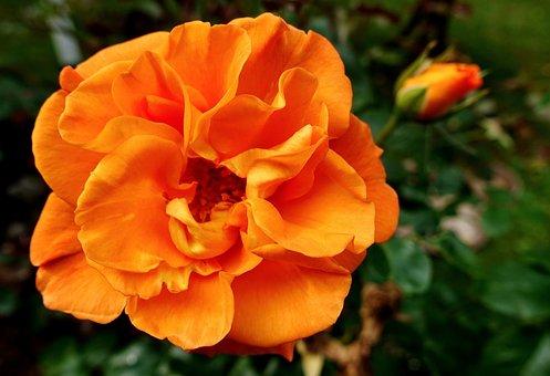 Rose, Orange, Blossom, Bloom, Nature, Flower, Romantic