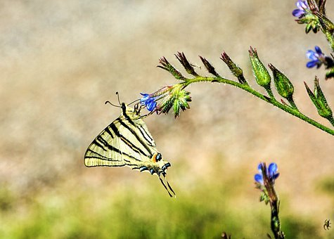 Butterfly, Swallow Tail, Insect, Flower, Nectar, Pollen