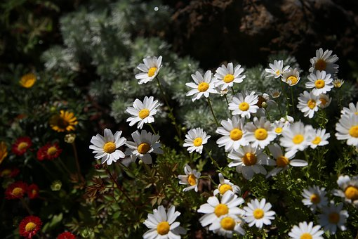 Chrysanthemum, Daisy, Gujeolcho, Flowers, Plants