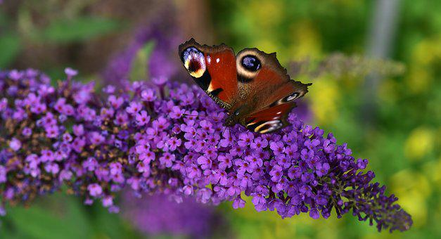 Peacock, Butterfly, Close Up, Lilac, Zierflieder