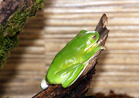 Frog, Litoria, Nibe Croaker, Green Frog, Fauna, Closeup