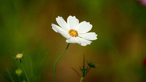 Cosmos, Flowers, White, Nature, Plants, Garden