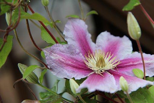 Clematis, Clematis Pink, Creeper, Flowering