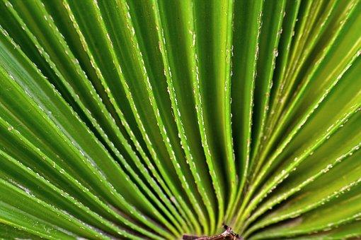 Fan Leaf, Radial, Plant, Drum Leaf, Palm Leaf