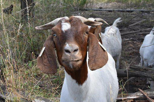 Goat, Range, Farm, Economy