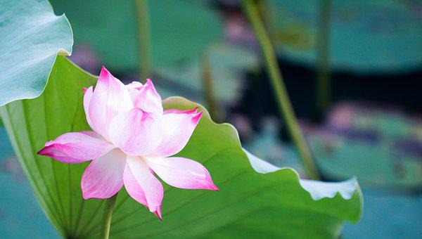 Flower, Lotus, Pink, Blossom, Nature, Zen, Floral