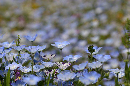 Nemophila, Flower, Blue Flowers, Flower Garden