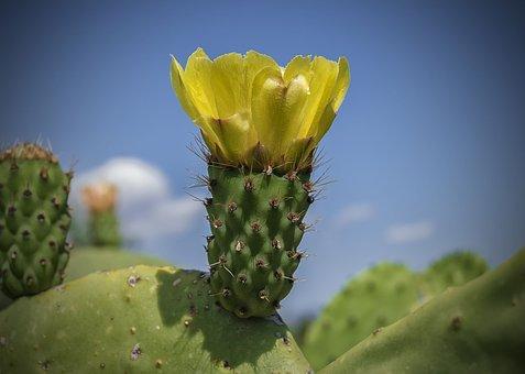 Yellow Flower, Flower Higo Chumbo, Prickly Pear Cactus
