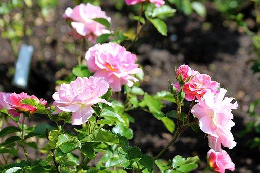 Roses, Rose Bush, Flowers, Bloom, Pink Roses, Nature