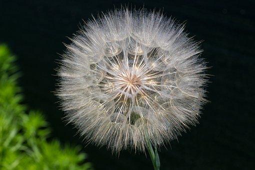 Macro, Dandelion, Flower, Flying Seeds