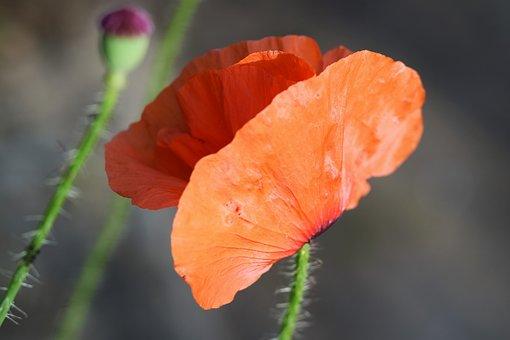 Poppy, Red, Field, Garden, Flora