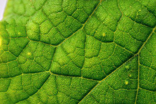 Venation, Leaf Veins, Nature, Green, Plant