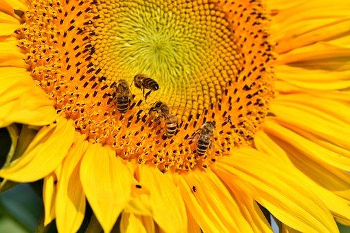 Sun Flower, Flower, Bees, Honey Bees, Yellow, Blossom