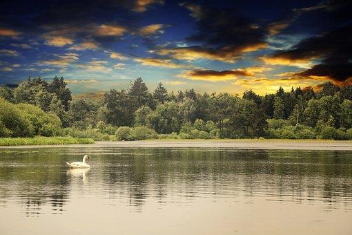 Swan, Water, Animal, Nature, Lake, Schwimmvogel