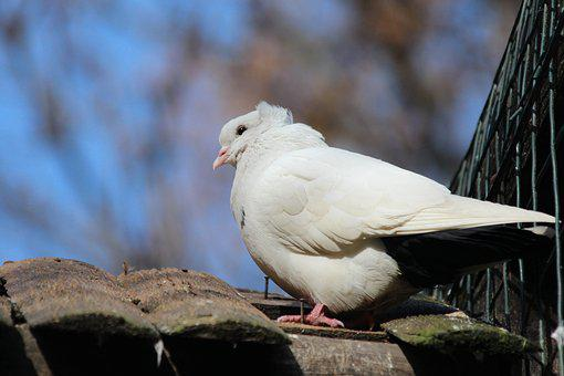 Dove, White Bird, Nature, Living Nature, Animals, Bird