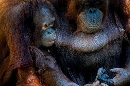 Bornean, Orangutan, Monkey, Animal, Mammal, Wildlife