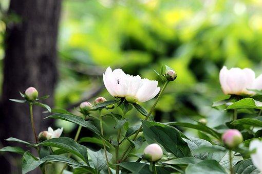 Peonies, Bush, Flowers, Bloom, Plant, Nature