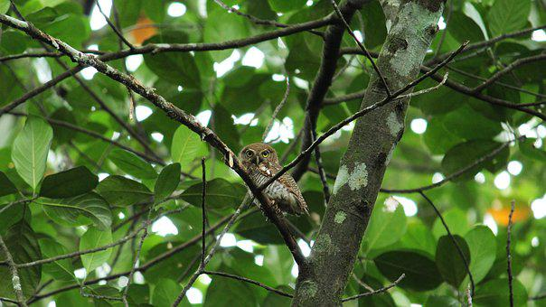Owl, Spotted, Forest, Avian, Nature, Cute, Wild