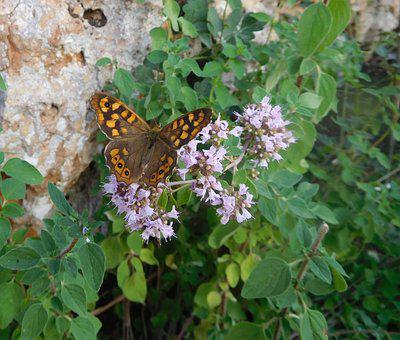 Butterfly, Speckled Wood, Nature, Insect, Entomology