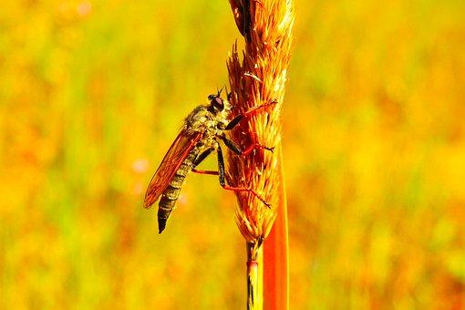 łowczak Bluish, Female, Insect, Muchówki, Nature