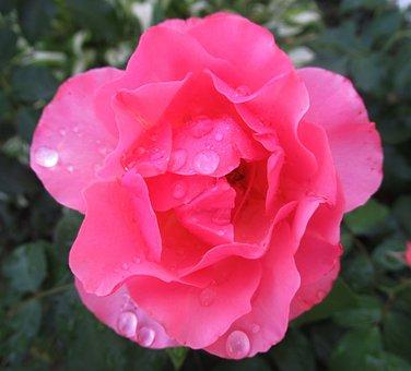 Rain, Rose, Nature