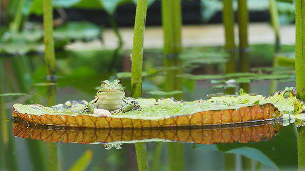 Nature, Amphibians, Frog, Water Lilies, Pond