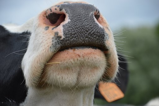 Have A Nose, Humor, Nostrils, Animal, Mammal, Cow