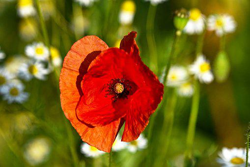 Poppy, Flower, Plant, Papaver Somniferum, Opium