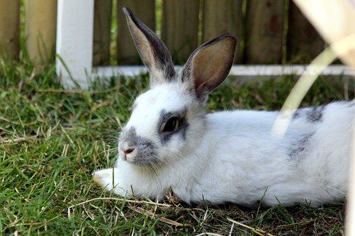 Rabbit, A Pet Rabbit, White Rabbit, Animal, Pet
