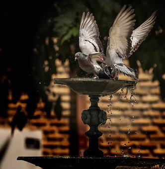 Pigeons Playing, Couple, Water
