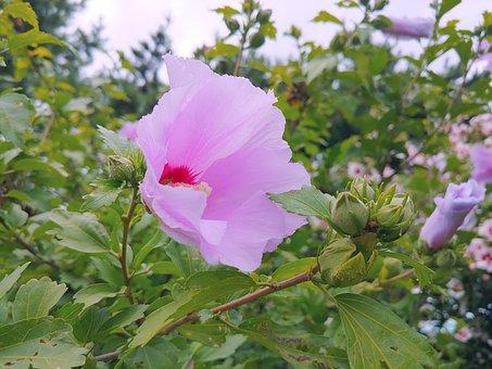 Rose Of Sharon, Pink Flower, Pink Sharon, Flower Garden