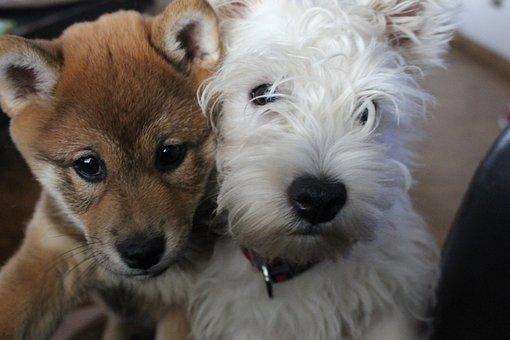 Westie, Dogs, Puppy, Cute, Pedigree, Shiba-inu, Small
