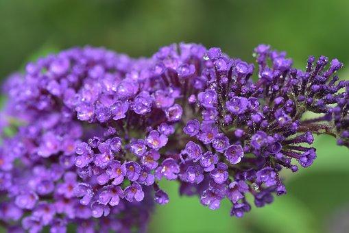 Lilac, Close Up, Nature, Garden, Purple, Plant, Flower