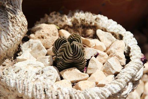 Succulent, Rock Plant, Mediterranean Plant, Rock Garden