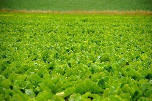 Beets, Field, Beet Field, Sugar Beets, Root Vegetable