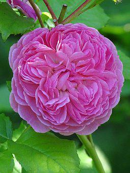 Flower, Blossom, Pink, Nature, Rose
