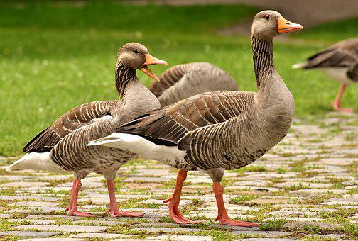 Geese, Wild Geese, Waterfowl, Group, Goose-char, Run
