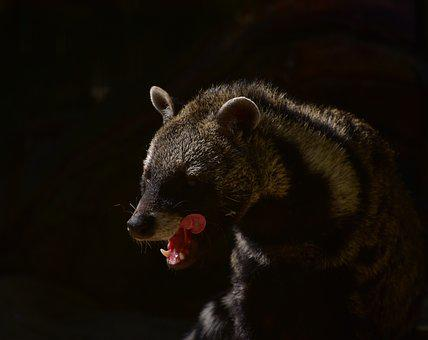 Civets, Predator, Forest, Hair, Shadow, Carnivores