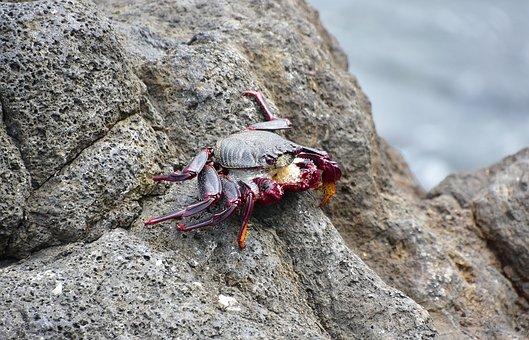 Crab, Sea, Crustacean, Seafood, Shell